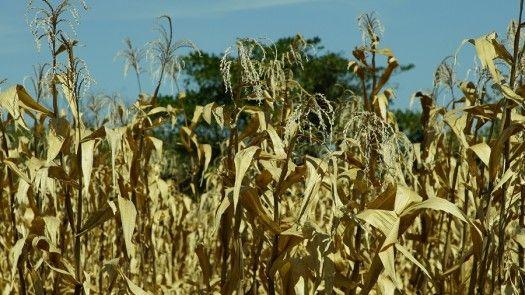 Productores de arroz piden aumento de precios