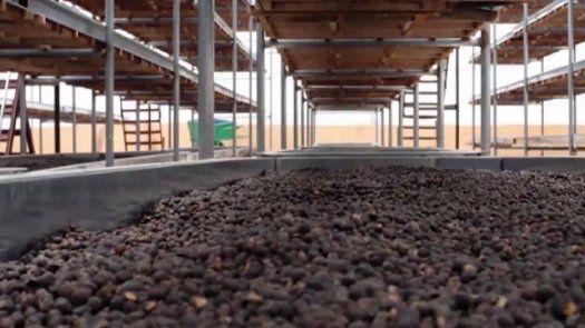 Los productores de café se preparan para la competencia Lo Mejor de Panamá